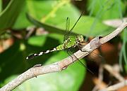 Dragon Fly Photos - The Green Dragon by Amanda Vouglas