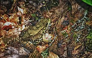 Forest Floor Prints - The Green Frog Print by Paul Mashburn