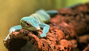 Lizards Photos - The Green Tree Monitor by JC Findley