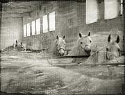 Horse Stable Posters - The Grey Mares Poster by Angel  Tarantella