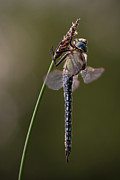 Rikard  Olsson - The Hairy Dragonfly 