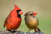 Male Cardinals Posters - The Happy Couple Poster by Bonnie Barry