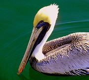 Coastal Birds Posters - The Happy Pelican Poster by Karen Wiles
