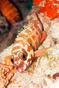The Hawkfish Print by MotHaiBaPhoto Prints