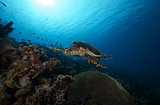 Endangered Animal Posters - The Hawksbill Sea Turtle, Bonaire Poster by Terry Moore