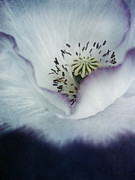 Pistil Prints - The Heart Of A Poppy Print by Priska Wettstein
