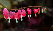 Dicentra Spectabilis Prints - The Hearts Print by Robert Bales