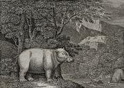 Hippopotamus Posters - The Hippopotamus Of The Cape Of Good Poster by Ken Welsh