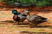 The Honeymooners - Mallard Ducks  Print by Angie Tirado