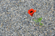 Michael Bessler - The Hopeful Poppy