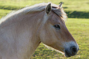 Palomino Photos - The Horse and the Fly by Gert Lavsen