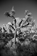 National Photo Framed Prints - The Joshua Tree Framed Print by Peter Tellone