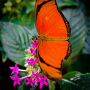 Julia Butterfly Acrylic Prints - The Julia Butterfly Acrylic Print by David Patterson