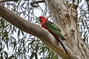Parrot Metal Prints - The King Metal Print by Douglas Barnard