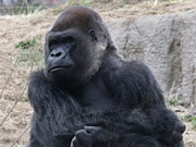 Ape Photo Originals - The King by Emeraldcoast Gallery