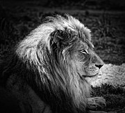 Beasts Acrylic Prints - The King Acrylic Print by Kurt Golgart