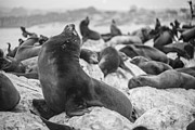 Sea Lion Photos - The King by Ralf Kaiser