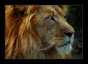 Lion Photos - The King by Ricky Barnard