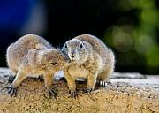 Groundhog Photos - The Kiss by Edward Myers