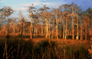 Saw Prints - The land of Big Cypress Print by David Lee Thompson