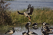 Magpies Photos - The Landing Approach by Douglas Barnard