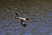 Magpies Photos - The Landing V2 by Douglas Barnard