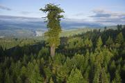 Evergreen Trees Photo Posters - The Largest Patch Of Old Growth Redwood Poster by Michael Nichols