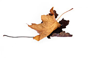 Fallen Leaf Photos - The Last Dance - Leaf Montage No. 5 by The Forests Edge Photography - Diane Sandoval