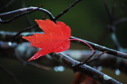 Red Maple Tree Photos - The Last Red Leaf by Robert Meanor