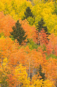 Santa Fe National Forest Photos - The Leaves Of A Forest Change Colors by Ralph Lee Hopkins