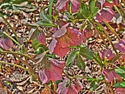 Ithaca Prints - The Lenten Rose Print by Joshua House