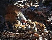 Poultry Photos - The Lesson by Terry Kirkland Cook