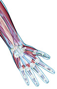 Biomedical Illustration Art - The Ligaments Of The Hand by MedicalRF.com