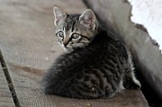 Animal Photos - The Lil Kitty That Could by Janara  Hoppock