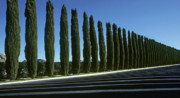 Italian Cypress Photo Acrylic Prints - The Lineup Acrylic Print by Steve Williams