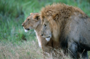 Big-five Posters - The Lion And His Lioness Poster by Sandra Bronstein