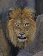 Beasts Prints - The Lion Dry Brushed Print by Ernie Echols