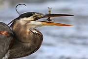 Great Heron Photos - The Little Fish by Mircea Costina Photography
