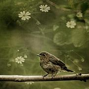 Baby Bird Prints - The Little Robin Print by Angel  Tarantella