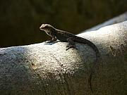 The Lone Lizard Print by Amanda Vouglas