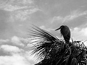Great Blue Heron Black And White Posters - The Lonely Great Blue Heron Poster by Judy Wanamaker
