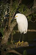 Egretta Thula Photos - The lonely Snowy Egret by Chad Davis
