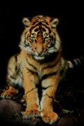 Cub Metal Prints - The Look Metal Print by Animus Photography