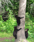 Black Bear Cubs Prints - The Lookout Print by Gerry Sibell