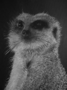 Meerkat Posters - The Lookout Poster by Paul Horton