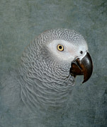 African Gray Posters - The Love of a Gray Poster by Betty LaRue