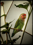 Lovebird Posters - The Lovebird  Poster by Saija  Lehtonen