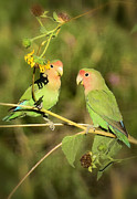 Lovebird Metal Prints - The Lovebirds  Metal Print by Saija  Lehtonen