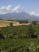 Stellenbosch Photo Posters - The Lush Garden Landscape Of A Vineyard Poster by Stacy Gold