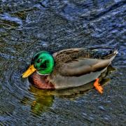 Duck Pond Prints - The Mallard Print by David Patterson